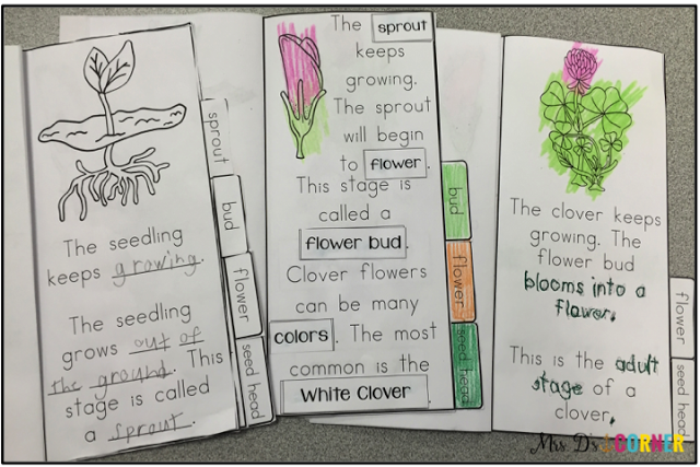 Saint Patrick's Day is all about shamrocks / clovers. Use this flip flap booklets to teach your students all about the life cycle of a clover / shamrock! From seed to flower bud and back to seed, your students will learn about 6 stages of a clover / shamrock. Mrs. D's Corner.